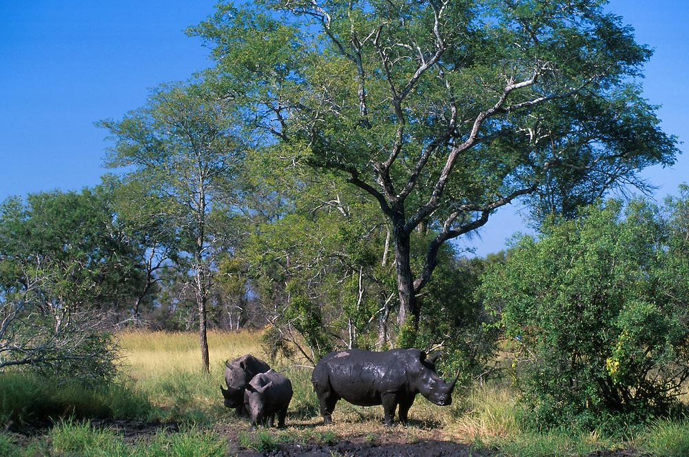 White Rhino .Sabi Sand.South Africa