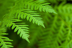 United States, Oregon, Rogue River, fronds of fern plant