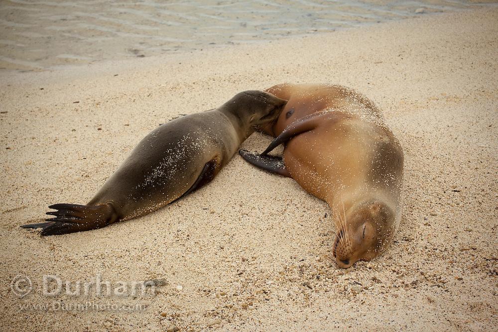 A nursing california sea lion (Zalophus californianus) on the beach of Genovesa Island, Galapagos Archipelago - Ecuador.