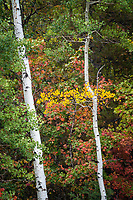 Early Fall colors begin to show in the high mountains around Snowbasin in Northern Utah.