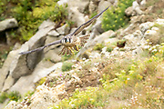 Peregrine juvenile (Falco peregrinus) in flight above coastal cliffs. Dorset, UK.