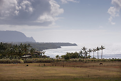 A horse grazes under palm trees. In the background are the beginning of the cliffs of the Na Pali coast along the north shore of the island of Kauai in Hawaii near the Kilauea Point Lighthouse and the Kilauea Point National Wildlife Refuge.
