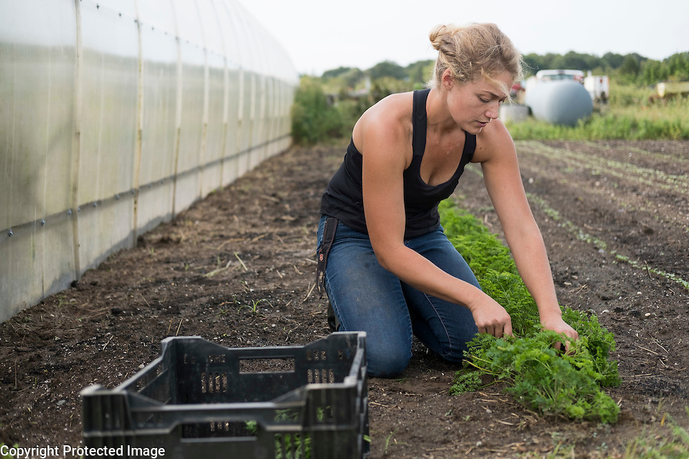 Darcy Hutzenlaub, the farm manager at The Food Pantry Farm, harvests parsley in East Hampton, Sept. 21, 2016. The farm provides local food pantries with fresh local produce.