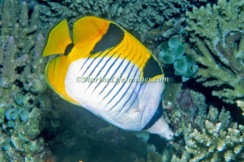 Saddleback Butterflyfish inhabit reefs. Picture taken Maldives.