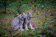 The Canada lynx (Lynx canadensis) is a medium-sized cat characterized by its long ear tufts, flared facial ruff, and short, bobbed tail with a completely black tip.