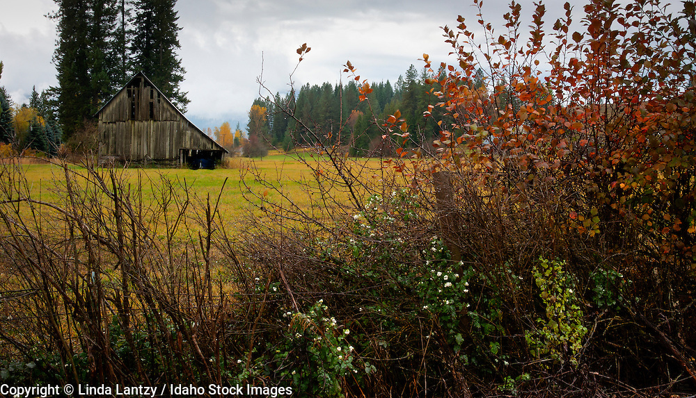 Idaho, North, Idaho Panhandle, Silver Valley. A barn near Pinehurst in a meadow lined with snowberries with fall colors and mountain mist on a wet autumn day.
