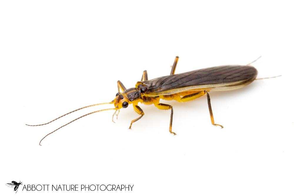 Common Stonefly (Perlesta decipiens)<br /> TEXAS: Travis Co.<br /> Brackenridge Field Laboratory<br /> Austin<br /> 2-April-2012<br /> J.C. Abbott &amp; K.K. Abbott