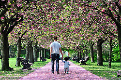 © Licensed to London News Pictures. 12/05/2016<br /> TOBY WINTERBOTTOM  with his daughter NINA (15 MTS)  from Greenwich.<br /> Sunny weather in Greenwich Park,Greenwich,London today (12.05.2016) as people enjoy the falling pink cherry blossom which has made a pink carpet on the pathway.<br /> <br /> (Byline:Grant Falvey/LNP)
