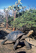 Under a prickly pear cactus tree, a giant Galapagos Tortoise fully extends its legs and neck in a cleaning posture for finches to remove parasites at Charles Darwin Research Station, Puerto Ayora, Santa Cruz Island, Galapagos Islands, Ecuador, South America. This species is the largest living tortoise and is native to seven islands of the Galápagos archipelago. Fully grown adults can weigh over 300 kilograms (661 lb) and measure 1.5 meters (5 feet) over the curve of the shell. They are long-lived with a life expectancy of up to 100-150 years in the wild. Populations fell dramatically because of hunting and the introduction of predators and grazers by humans since the 1600s. Only ten subspecies of the original twelve exist in the wild. Since Galápagos National Park and the Charles Darwin Foundation were established, hundreds of captive-bred juveniles have been released back onto their home islands. In 1959, Ecuador declared 97% of the land area of the Galápagos Islands to be Galápagos National Park, which UNESCO registered as a World Heritage Site in 1978. Ecuador created the Galápagos Marine Reserve in 1998, which UNESCO appended in 2001. Published in Wilderness Travel 1990 Catalog.