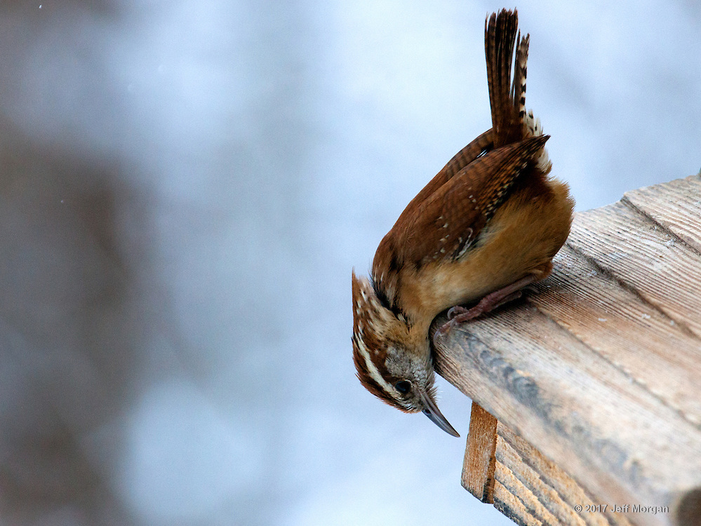 A Carolina Wren visits the suet feeder during a snow storm.