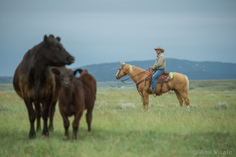 The Nature Conservancy's Matador Ranch Operations Manager Charlie Messerly works with 13 ranching families in Eastern Montana  at the Matador ranch &quot;grass bank&quot;. The &ldquo;grass bank&quot; is an innovative way to leverage conservation gains, in which ranchers can graze their cattle at discounted rates on Conservancy land in exchange for improving conservation practices on their own &ldquo;home&rdquo; ranches. In 2002, the <br /> Conservancy began leasing parts of the ranch to neighboring ranchers who were suffering from  severe drought, offering the Matador&rsquo;s grass to neighboring ranches in exchange for their  participation in conservation efforts. The grassbank has helped keep ranchers from plowing up native grassland to farm it; helped remove obstacles to pronghorn antelope migration; improved habitat for the Greater Sage-Grouse and reduced the risk of Sage-Grouse colliding with fences; preserved prairie dog towns and prevented the spread of noxious weeds. (Photo By Ami Vitale)