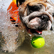 CoCo, an English bulldog, chases a ball in to the water while with her owners Tom and Marcia Siuda, of Bluffton, during a swim lesson with Abby Bird, of Alphadog Training Academy, on June 6, 2014.  To participate, dogs must be 35 pounds or more (exceptions are made for puppies who will grow to that size), be dog- and child-friendly, and must be able to be off leash or on long lines in the water near other dogs and people.  The purpose is to teach dogs  how to safely get out of pools, retrieve toys, dock dive, swim with their owners.