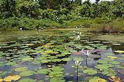 Fiji, water lily pond