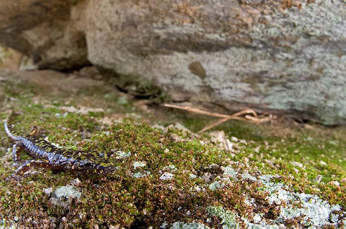 Green Salamander (Aneides aeneus), Southern Blue Ridge Escarpment, South Carolina