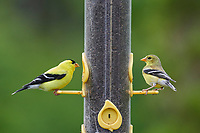 Pair of American goldfinch (carduelis tristis) on a nyger seed feeder,  Cherry Hill, Nova Scotia, Canada,