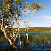 Brown Lake is a lake on North Stradbroke Island, in Queensland, Australia.<br /> <br /> Known as a perched lake like other lakes on the sandy islands in the region of South-East Queensland it retains its water due to a layer of leaves lining the lake floor.[1] This is particularly apparent in the Brown Lake as tannin is exuded from the leaves, dropped from surrounding Paperbark Melaleuca and Ti-trees Leptospermum, stains the water to a rich brown colour not dissimilar to that of tea. North Stradbroke Island, just off Queensland's capital city of Brisbane, is the world's second largest sand island and, with its miles of sandy beaches, a popular summer holiday destination.