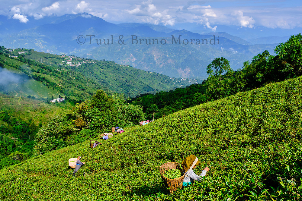 Inde, Bengale Occidental, Darjeeling, Domaine du thé de Phubsering, jardins de thé, cueillette du thé // India, West Bengal, Darjeeling, Phubsering Tea Garden, tea garden, tea picker picking tea leaves