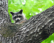 Image of a racoon