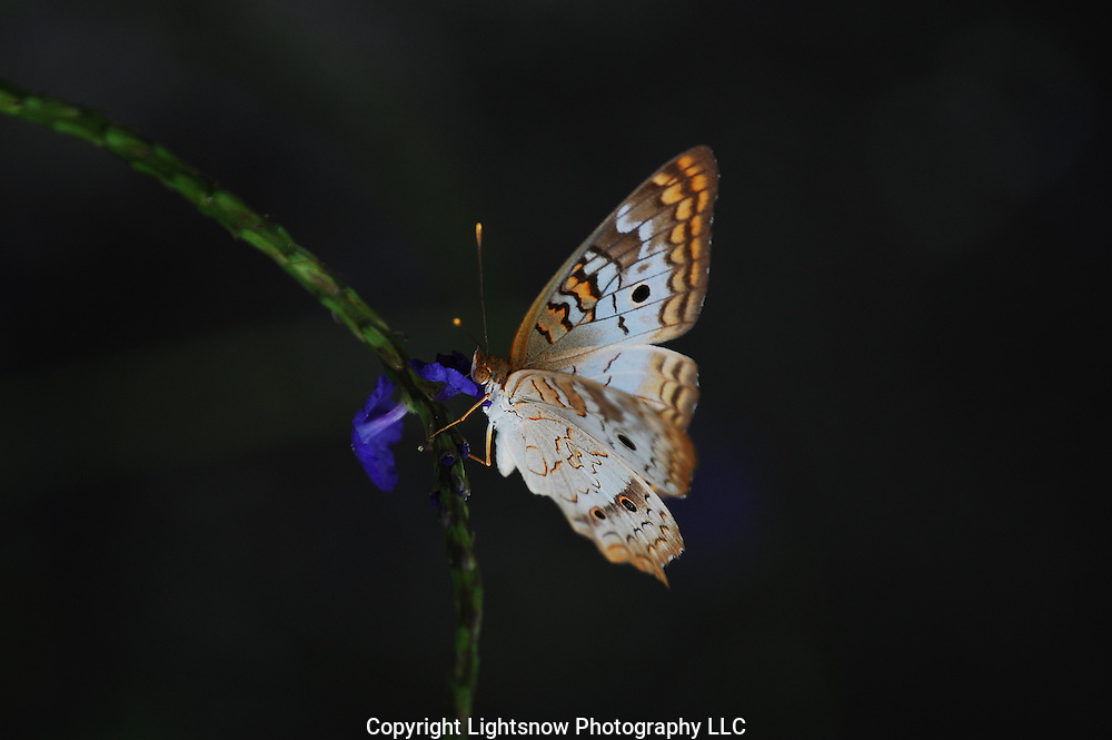 This is a photograph of a White Peacock Butterfly taken at Daggerwing Nature Center, in Boca Raton, Florida.