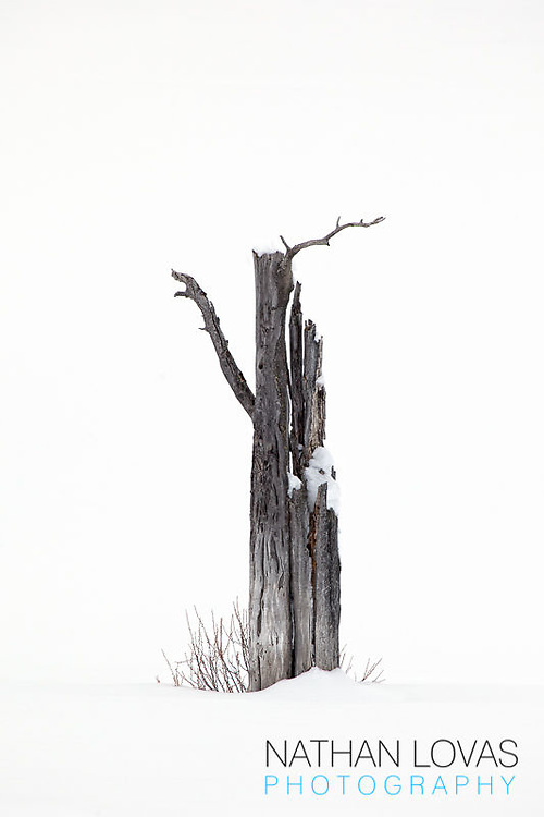 Dead tree in snow; Yellowstone NP.