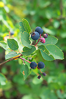 "Saskatoons, or western serviceberries (or ""pomes"" in botanical terms) are apple-like fruits that look very similar to salal berries  and are one of my favorite foraged berries in the Pacific Northwest and Rocky Mountains. Distantly related to apples, they taste like an beautiful mix of blueberry, salal, crabapple and Oregon grape. You can eat them fresh (my favorite!), dehydrate them like raisins, make them into jelly, jam or wine, or bake them into pancakes, pies and pastries. These perfectly ripe beauties were found growing in Montana's Glacier National Park in midsummer."