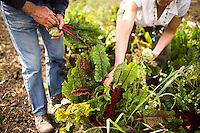 "DAVIS - APRIL 15: Husband and wife team, Pamela Ronald, a plant geneticist, and Raoul Adamchak, a bio-gardener, pick rhubarb in the garden at UC Davis, in Davis, Ca., on Friday, April 15, 2011. The couple co-authored ""Tomorrow's Table: Organic Farming, Genetic and the Future of Food."""