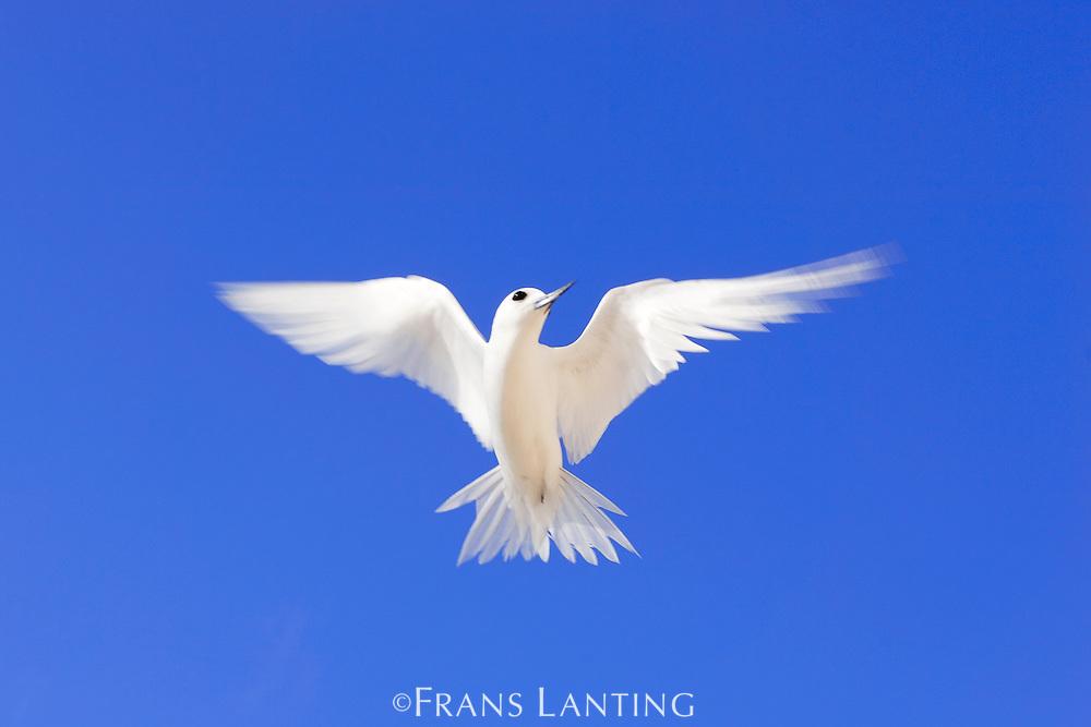 Fairy tern in flight, Gygis alba, Tern Island, Hawaiian Leeward Islands