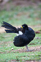 Bare-faced Curassow (Crax fasciolata), Araras Ecolodge,  Mato Grosso, Brazil (Photo: Peter Llewellyn)