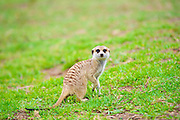 The meerkat or suricate (Suricata suricatta), is a small mammal belonging to the mongoose family. Meerkats live in all parts of the Kalahari Desert in Botswana, in much of the Namib Desert in Namibia and southwestern Angola, and in South Africa.