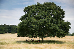© Licensed to London News Pictures. 04/07/2018. London, UK. Deer seek the shade of a tree in the scorched landscape of Richmond Park as the heatwave continues. Photo credit: Peter Macdiarmid/LNP