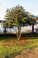 Camélia vermelha. Treze Tílias, Santa Catarina, Brasil. / Red camellia. Treze Tilias, Santa Catarina, Brazil.