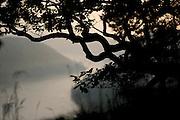 Sessile oak (Quercus petraea) in the National Park Saxon Switzerland (Saechsische Schweiz). Europe, central europe, Germany | Traubeneiche (Quercus petraea)