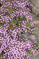 Wooly Thyme (Thymus lanuginosus) blooming and spreading in a rock garden
