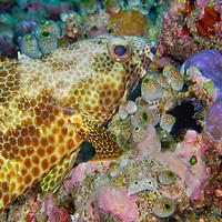 Alberto Carrera, Four-saddle Grouper Epinephelus spilotoceps, Coral Reef, South Ari Atoll, Maldives, Indian Ocean, Asia