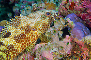 Alberto Carrera, Four-saddle Grouper Epinephelus spilotoceps, Coral Reef, South Ari Atoll, Maldives, Indian Ocean, Asia