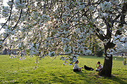 As the Easter Bank Holiday weekend begins and the UK's Coronavirus death toll rises to 7,978 with 65,077 cases testing positive by the end of the UK government's second week of lockdown, two young women talk under spring blossom while walking their dog in warm sunshine in Ruskin Park, a south London green space, on 9th April, in London, England.