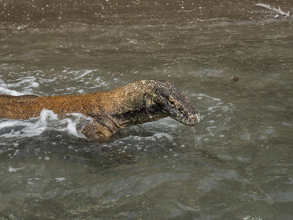 Swimming Komodo dragon (Varanus komodoensis) on the beach on Rinca in Horseshoe Bay, Komodo National Park, Indonesia