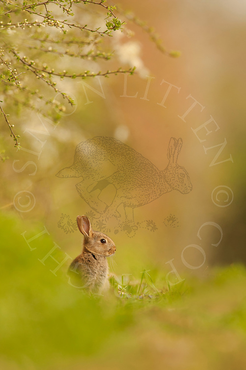 European Rabbit (Oryctolagus cuniculus) young, sitting on edge of wheat field underneath hedgerow, Norfolk, Uk.