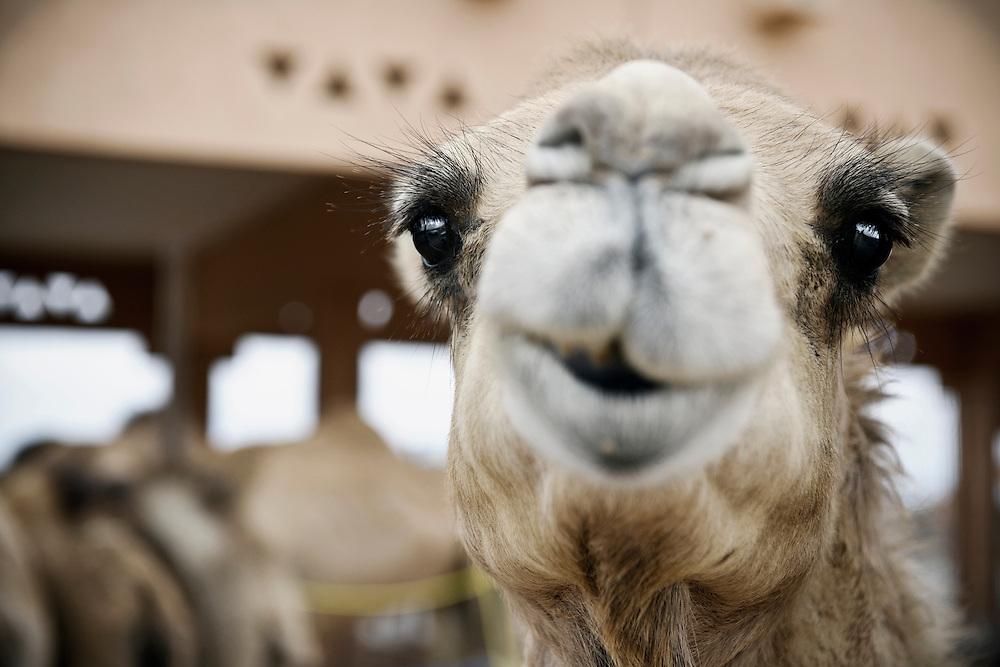 Al-Ain (Abu Dhabi), United Arab Emirates 04 April 2009. Camel souk.