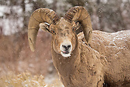 Caught in a spring snowstorm, this curious bighorn ram, makes his way back to Yellowstone from the low elevation meadows of the Shoshone National Forest where he spent the winter. In early May, bighorns can be seen navigating over Sylvan Pass, back to their summer home in Yellowstone.