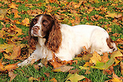 Quinn, the English Springer Spaniel