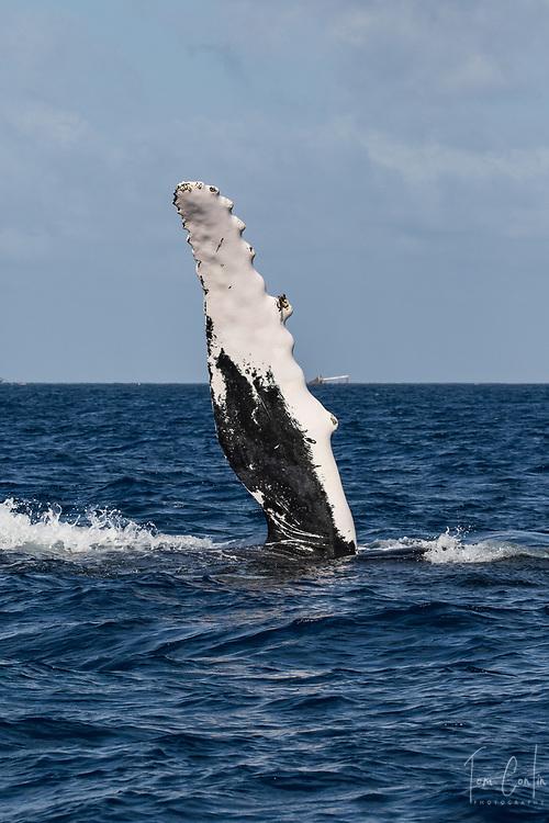 humpback whale ~ Megaptera novaeangliae ~ adult fin slapping ~ Silver Bank, Dominican Republic ~ www.aquaticadventures.com