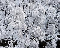 Nysnø på trærne. Den første snøen. Øvstabødalen, Rogaland.