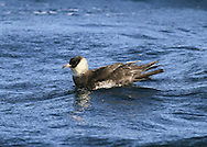Pomarine Skua - Stercorarius pomarinus (L 42-50cm) shares some plumage similarities to Arctic Skua but is appreciably larger, with deep, powerful wingbeats, and long, spoon-shaped tail streamers in adults. Two adult forms occur: dark morph (uniformly dark) is seldom seen while pale morph is more regular; it has white neck and belly, dark grey-brown upperparts, yellow-flushed cheeks and a dark breast band. Juvenile has variably barred dark, grey-brown. Outer Hebrides and NW Ireland are migration hotspots for Pomarine Skuas.