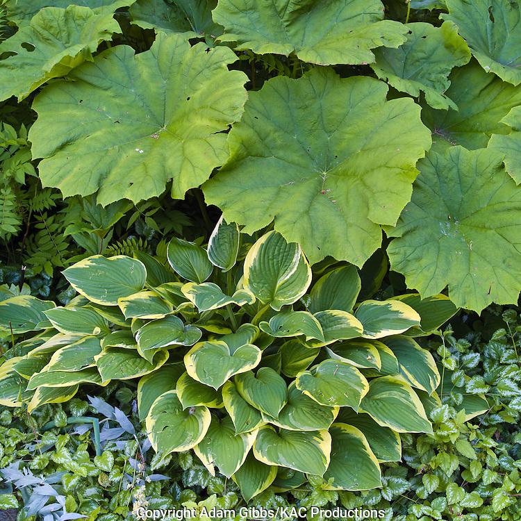 Astilboides tabularis and hosta