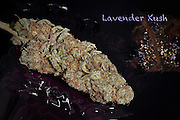 Lavender Kush nug, photographed in a professional studio