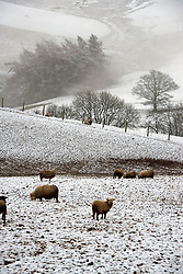 © Licensed to London News Pictures. 27/02/2020.  Builth Wells, Powys, Wales, UK. Sheep stand in a wintry landscape this morning on the Mynydd Epynt moorland  after snow fell on high land last night in Powys, Wales, UK. Photo credit: Graham M. Lawrence/LNP