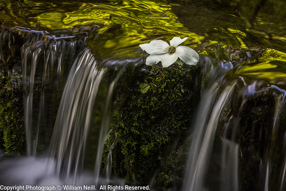 Fallen Dogwood Blossom and Fern Springs,  Yosemite National Park, California