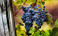 Copyright JIm Rice ©2013.RED WINE GRAPES ..HUNTER VALLEY..AUSTRALIA