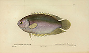 Polyacanthus from Histoire naturelle des poissons (Natural History of Fish) is a 22-volume treatment of ichthyology published in 1828-1849 by the French savant Georges Cuvier (1769-1832) and his student and successor Achille Valenciennes (1794-1865).